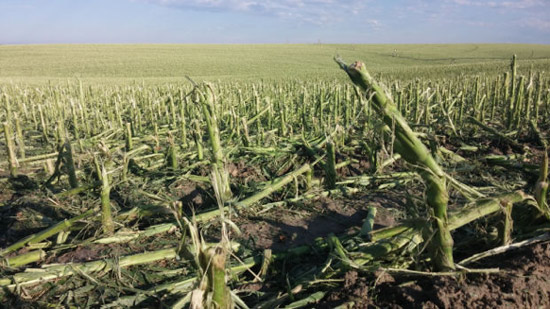 V4 (4-leaf) corn in Dodge County, Nebraska damaged by hail on June 3